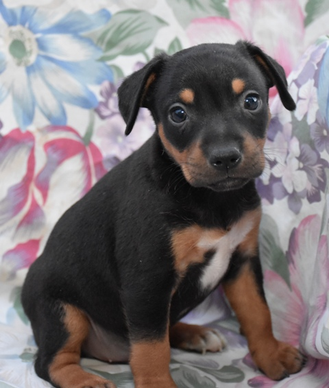 Hall's Kennel - Puppies For Sale